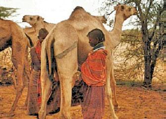 Cammelli Turkana