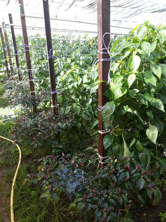 Eine Chili Pflanze am Ende jeder Reihe Paprika....