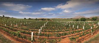 Weinberge des Weingut Grover Zampa in Indien