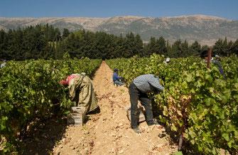 Weinernte im Libanon im Weingut Domaines des Tourelles