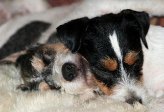 """Nur müde Terrier sind wirklich """"gute"""" Terrier ;-)"""