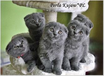 żywienie Perła Kujawpl Hodowla Kotów Brytyjskich I Szkocki Fold