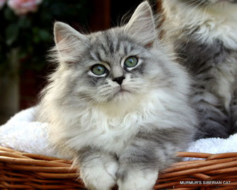 gattina siberiana black silver tabby mc. & white
