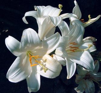 Lilium (giglio) Fam Liliaceae.