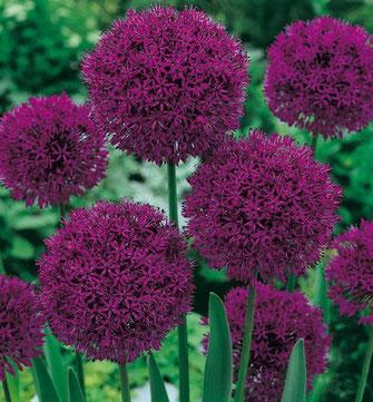 Aglio ornamentale (Allium) Fam. Liliaceae (Bulbo)