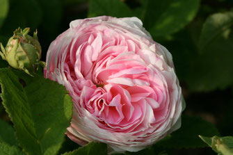 rose antiche Belle Isis (gallica)