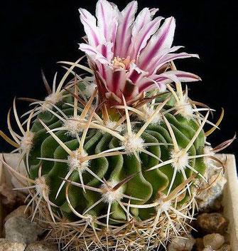 echinofossulocactus-phyllacanthus-fam-cactaceae.