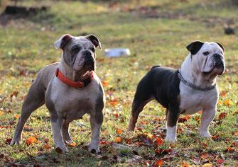 Die Geschichte Des Bulldog True Color Bullsde Bulldoggen Nebkcev
