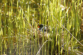 Ein Teichhuhn im Nest auf dem Volkertswarfter Fething