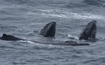 Humpback whales  ©Eric Woehler