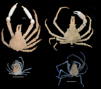 A comparison of large males of P. serpulifera (left) and P. keesingi (right) with representative juveniles found under the abdomens of females. Credit: WA Museum