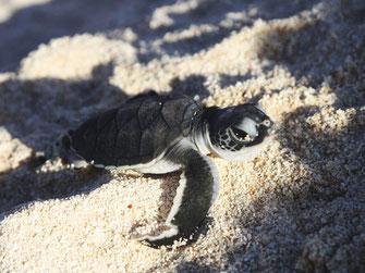 Juvenile Green Turtle. Credit M.Turner