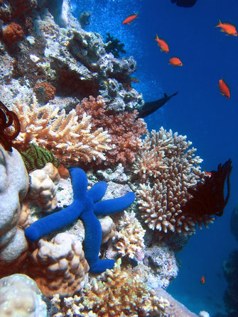 Starfish on coral. Tourists often photograph the natural beauty of the reef. wiki commons