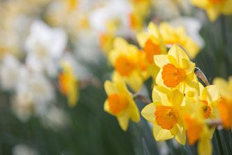 Narzissen-Vielfalt - Blumenzwiebelversand