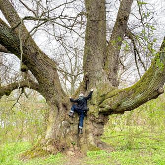(c) Heike Dahl  Monumentale, 600 Jahre alte Winterlinde auf dem Pehlitzwerder