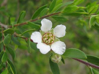 Huile essentielle de Tea-tree et infections