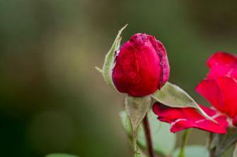 freilandrose-rot-knospe