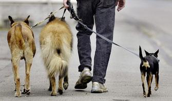 Im Kanton Bern darf man höchstens mit drei Hunden spazieren gehen, die älter als vier Monate sind.