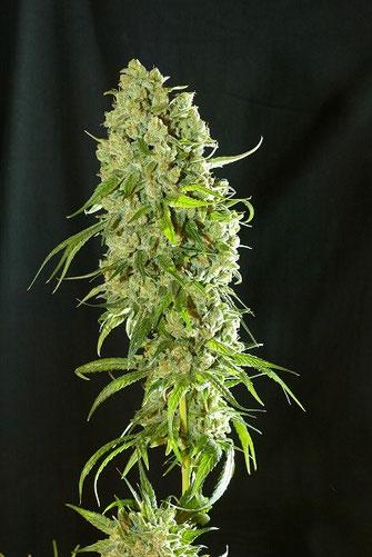 variedad de marihuana medicinal con CBD