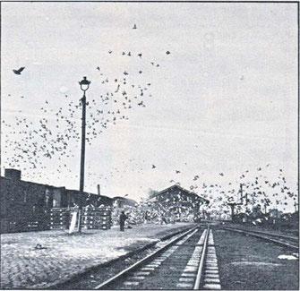Duivenlossing bij de trein