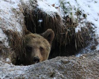 Bear Seida looking out of her cave - Dancing BearPark Belitsa © Four Paws - Vier Pfoten
