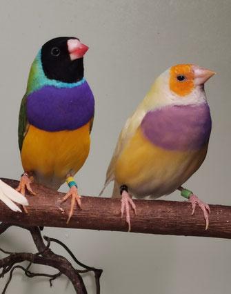 Gouldamadinen Paar, links Hahn, rechts Henne