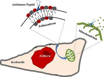 Das Antitumor-Peptid (blau) nimmt an der Krebszellmembran eine Haarnadel-Struktur ein, wird dann in die Zelle aufgenommen, interagiert mit Mitochondrien (grün) und löst den Tod der Zelle aus.