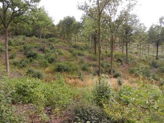 Ein klassischer Mittelwald in meiner Nachbargemeinde in Weigenhem