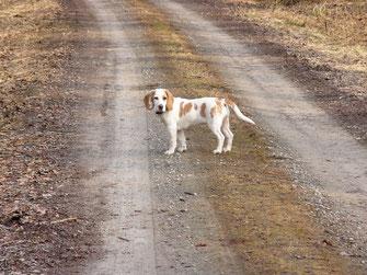 """Meine Beagle-Hündin """"Silva"""" freut sich über jeden Spaziergang."""