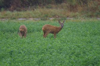Eine Rehgeiß und ihr Kitz lassen es sich am Waldrand schmecken.