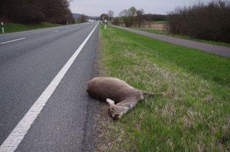 Mit Abstand am meisten Wildunfälle passieren in der BRD mit Rehen!
