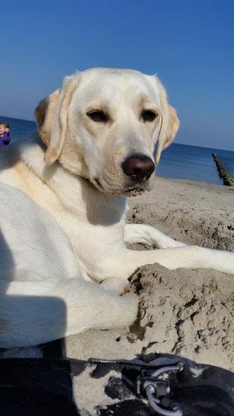 Bild von Chrystal Nelly vom Herrentisch im Urlaub am Strand. Blonde Labradorhündin