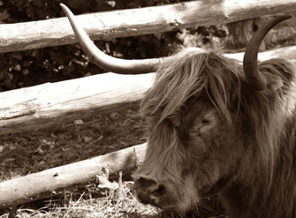 Mittwochs mag ich Kühe