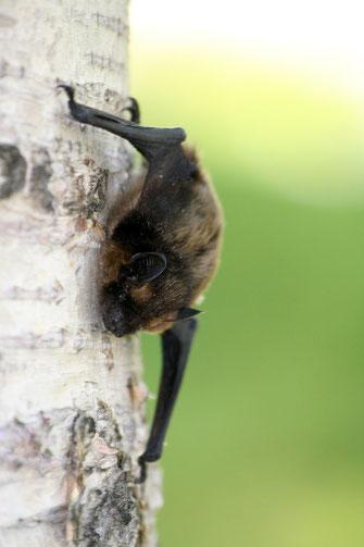 Bild: Fledermaus am Baumstamm