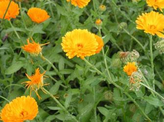 Blumen in Garten -  Gewächshaus, Hochbeet, Gartenhaus, Gärtner