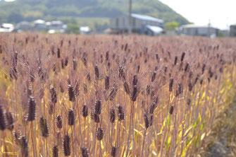 愛媛県東温市圃場 平成28年産もち麦(ダイシモチ)
