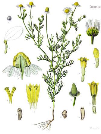Matricaria recutita, aus Köhler´s Medizinalpflanzen, wikimedia commons, gemeinfrei