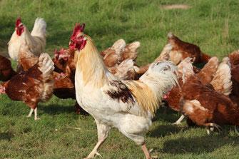 Hahn mit Hennen im Freilauf