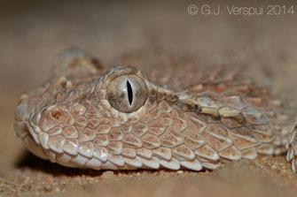 Cerastes gasperettii mendelssohni , Arabian Horned Viper