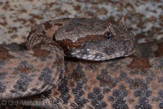 Pseudocerastes persicus