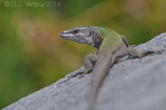 Podarcis raffonei , Reptiles of Italy , Scoglio Faraglione