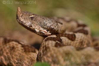 Vipera ammodytes, Nose-horned Viper