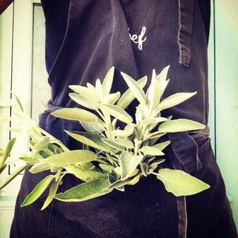 Dans la poche d'un tablier de cuisine, un bouquet de sauge.
