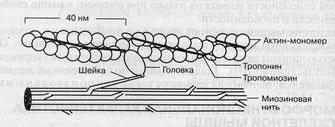 актин, миозин, тропомиозин, тропонин