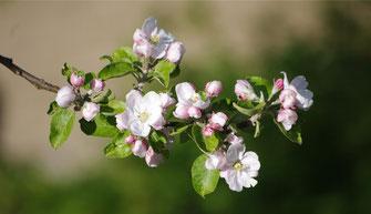 Blüten des Apfelbaums