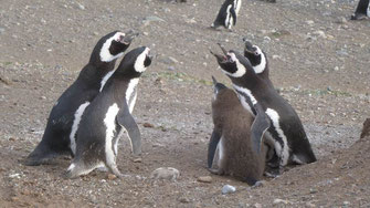 Bild: Diskutierende Pinguine