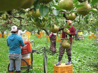 ラ・フランスの収穫体験