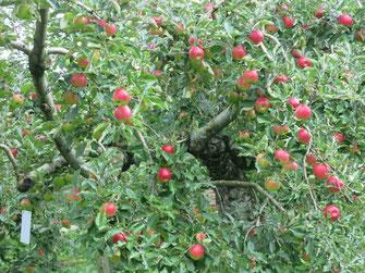 新鮮りんごがり紅玉画像