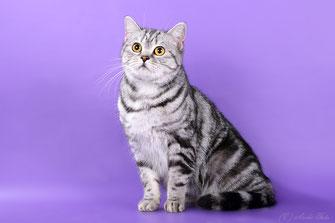 Джессика, шотландская короткошерстная кошка, скоттиш-страйт