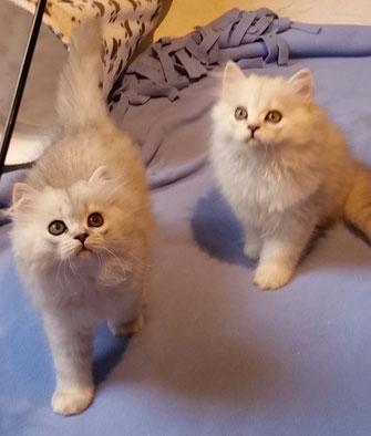 Silvershaded-Katerchen Duo im Alter von 11 Wochen